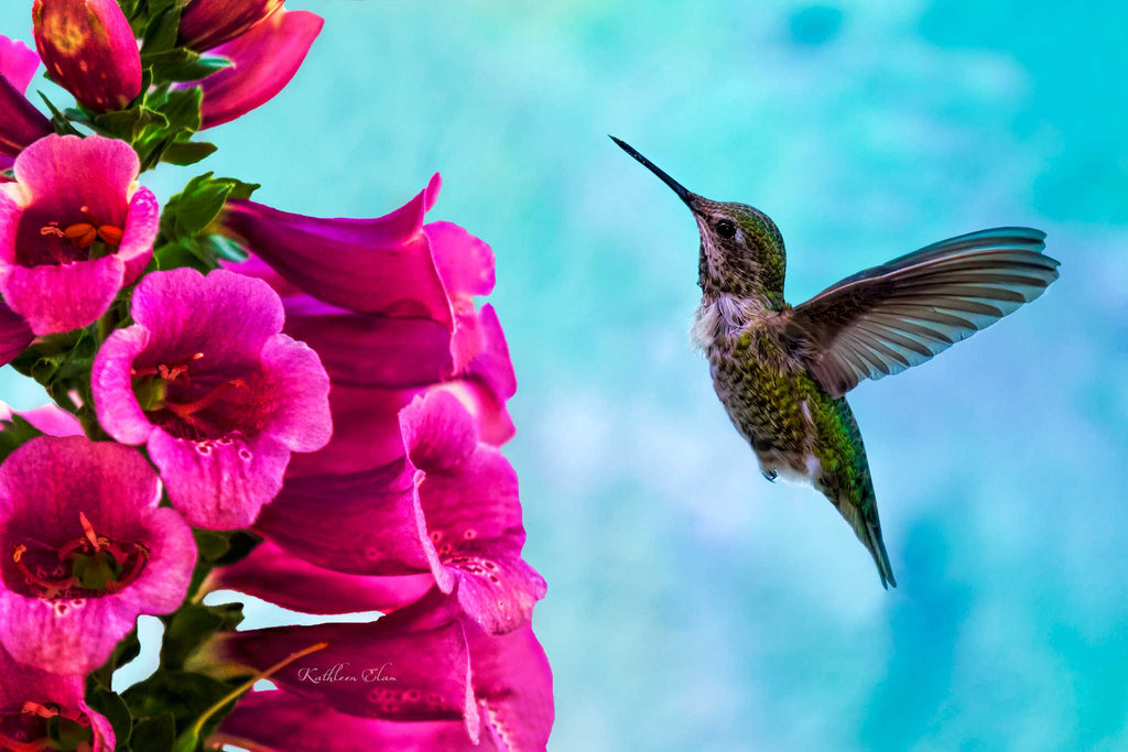 Photograph of a hummingbird and pink foxgloves.