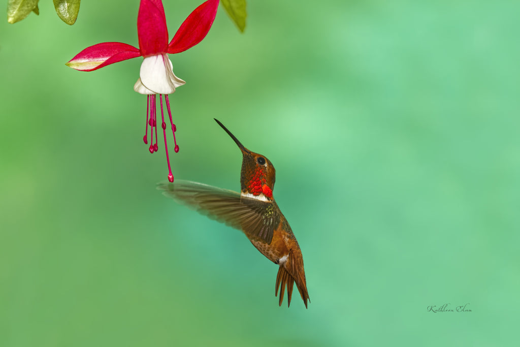 Picture of a hummingbird and a fuchsia flower.