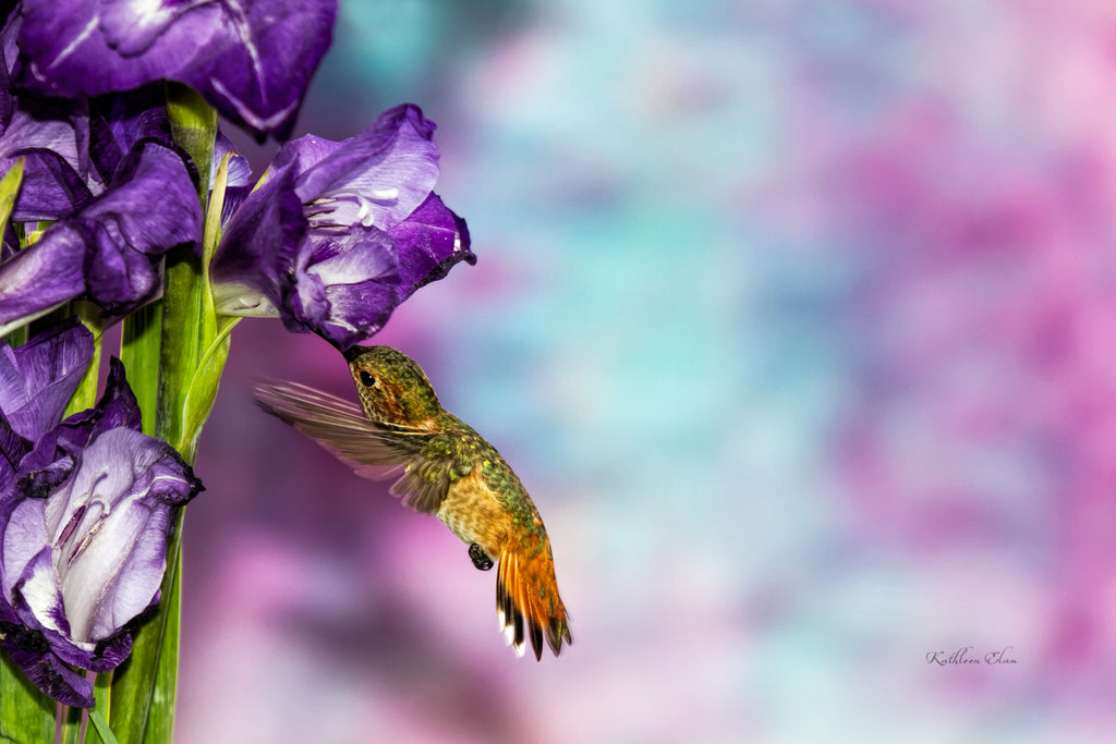 Photograph of a hummingbird visiting a purple gladiolus.