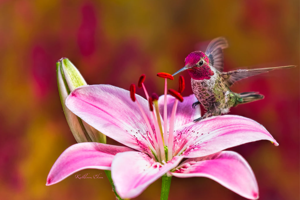 Photograph of a redheaded hummingbird on a pink lily.