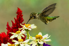 Photograph of a hummingbird with daisies.