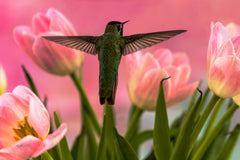 Photograph of a hummingbird and pink tulips.