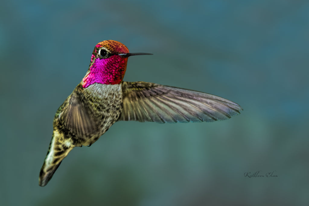 Photograph of a redheaded hummingbird in mid-air.