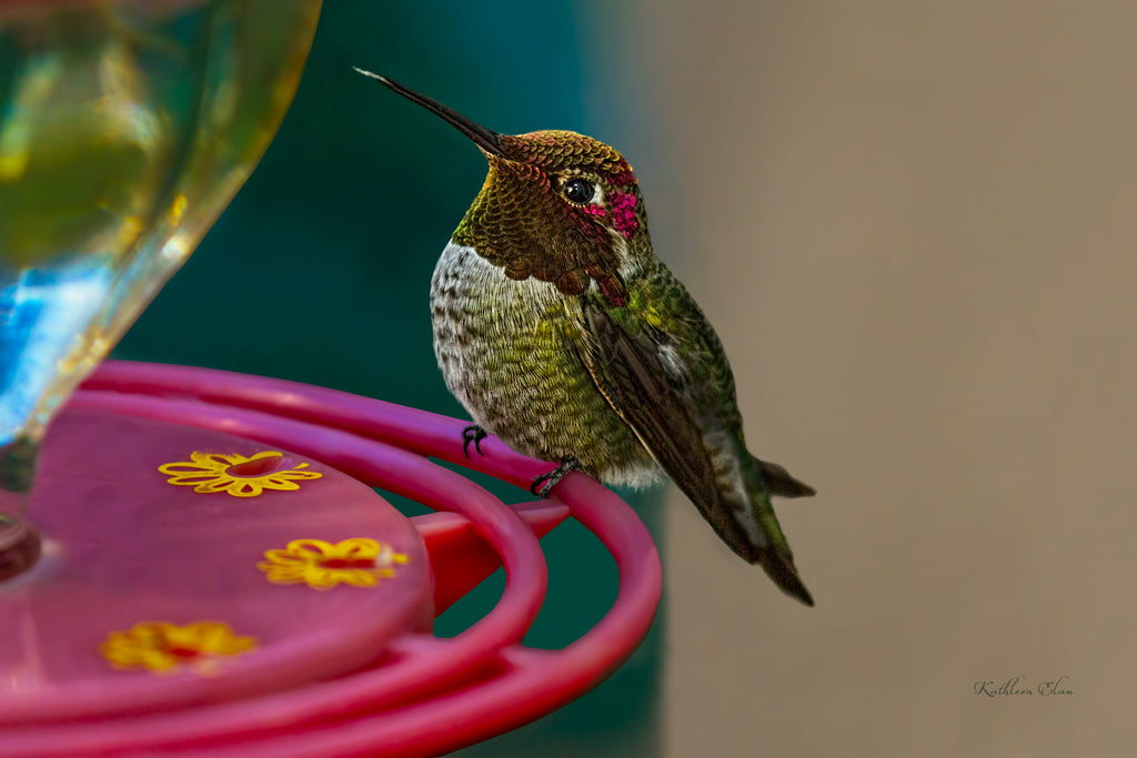 Photograph of a fat hummingbird sitting on a feeder.