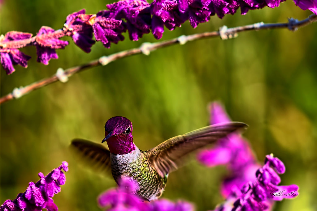 Photograph of a hummingbird and lavender.