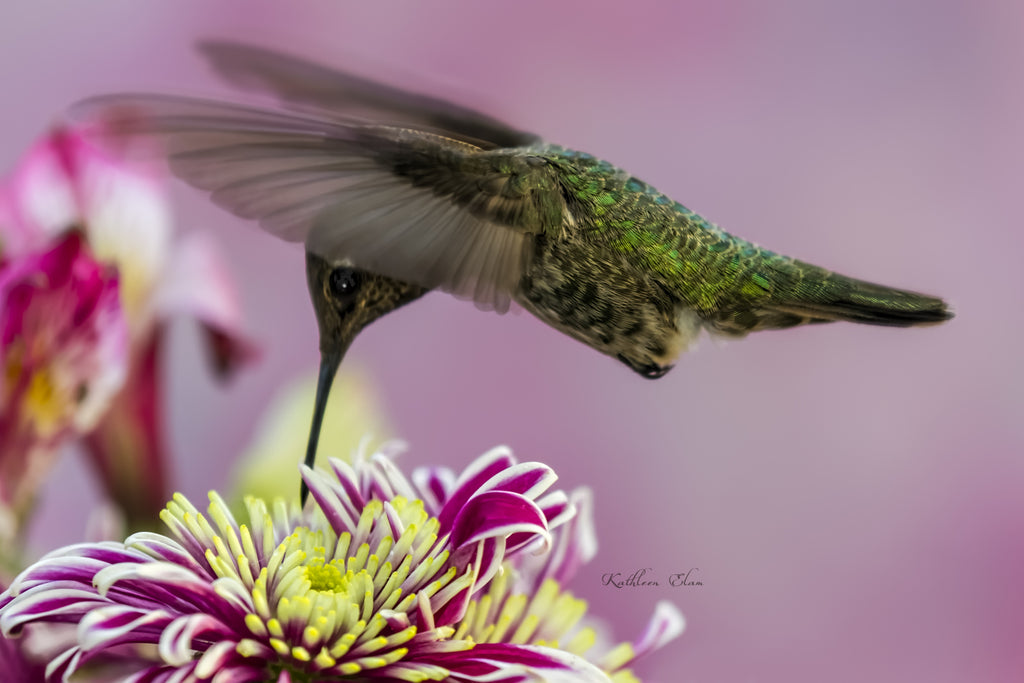 Photograph of a hummingbird visiting an aster.