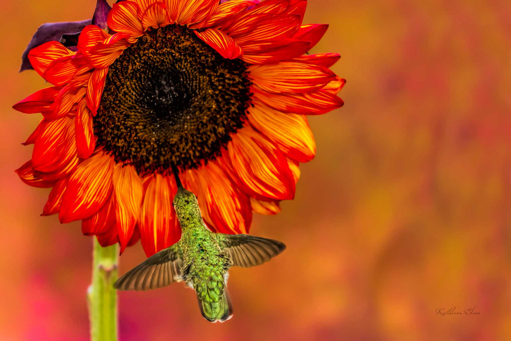 Photograph of a hummingbird visiting a sunflower.