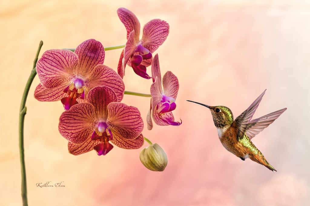 Photograph of a hummingbird and a lovely maroon and white orchid.