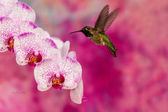 Photograph of a hummingbird and a beautiful pink and white orchid.