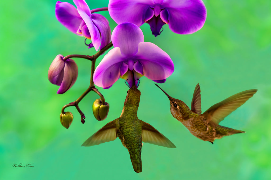 Photograph of two hummingbirds visiting purple orchids.