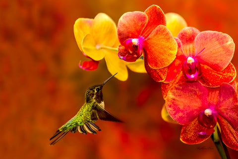 Photograph of a hummingbird visiting an orchid.