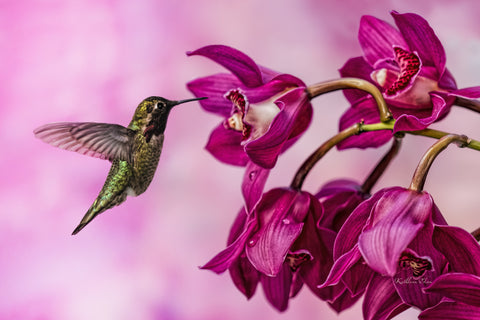 Photograph of maroon orchids and a hummingbird.