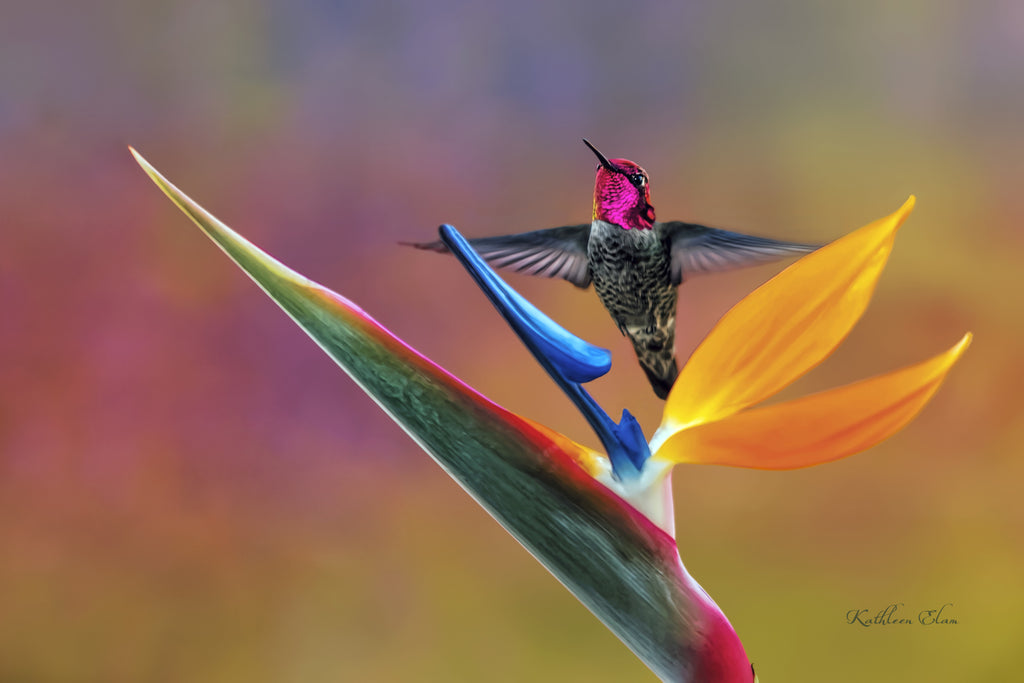 Photograph of a hummingbird and a bird of paradise flower.