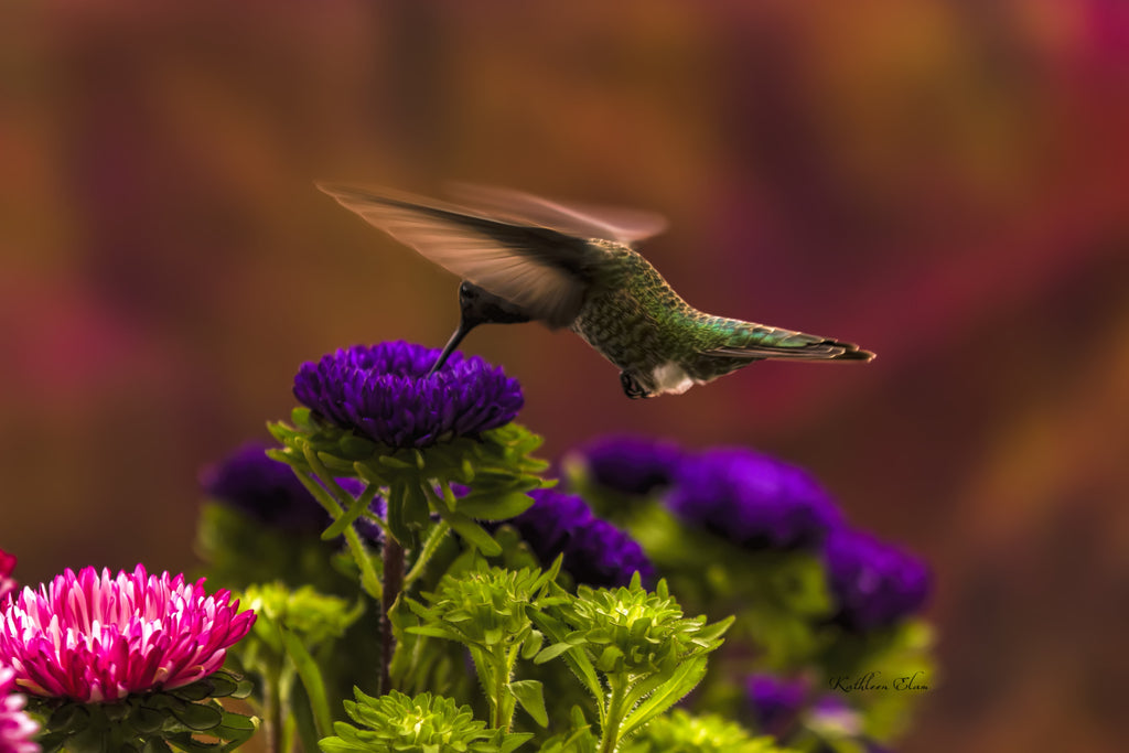 Photograph of a hummingbird hovering above a flower.