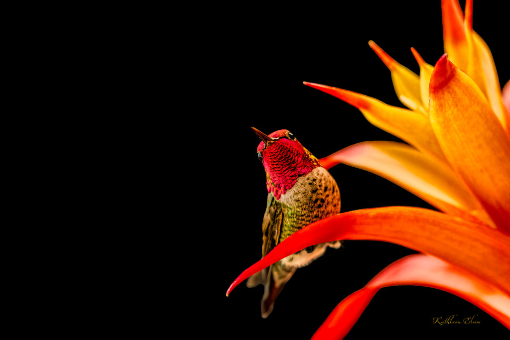 Photograph of a hummingbird on a brightly colored bromeliad.