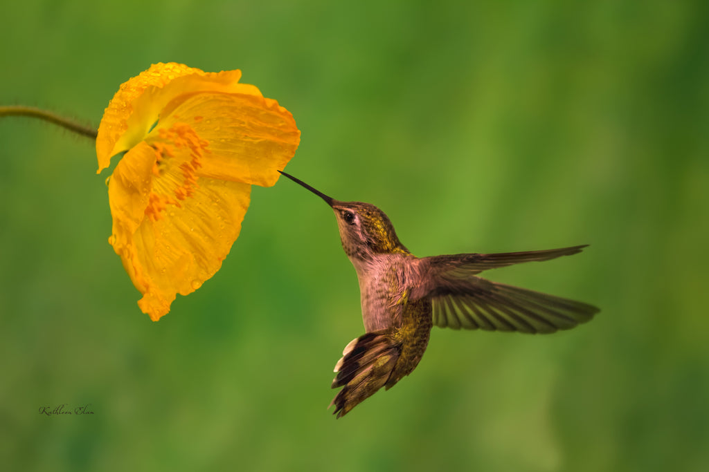 Photograph of a hummingbird and a California Poppy.