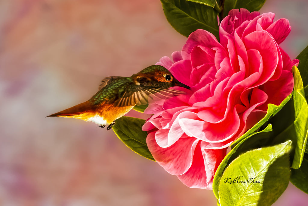 Photograph of a hummingbird visiting a Camilla.
