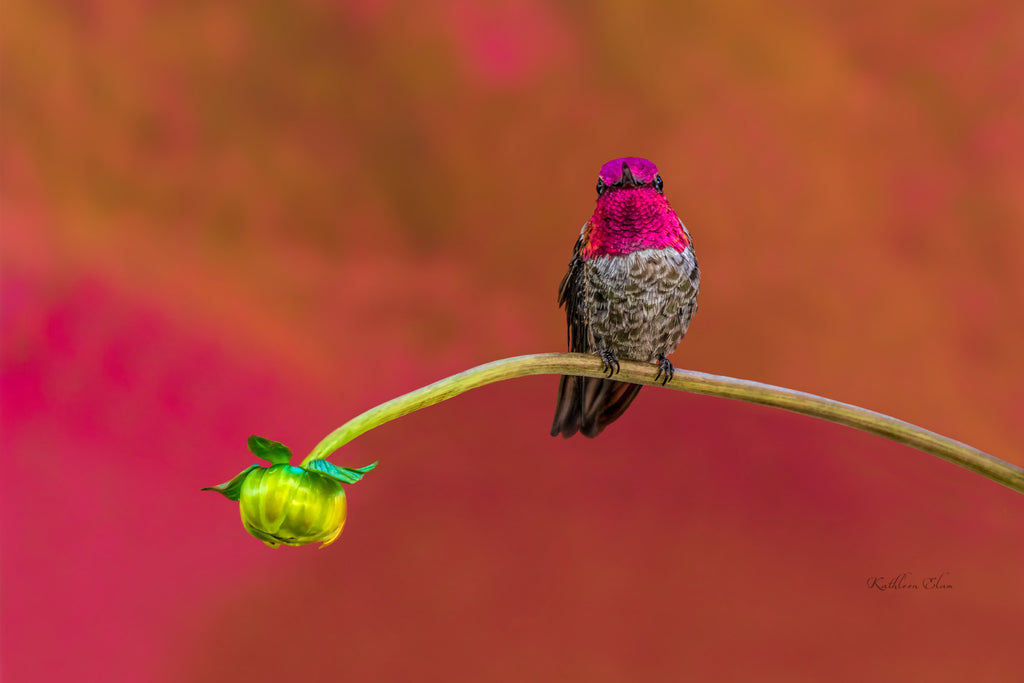 Photograph of a hummingbird perching on an aster bud