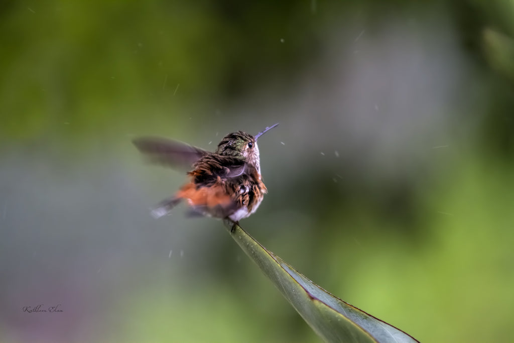 Photograph of a hummingbird sitting on a leaf in the rain.