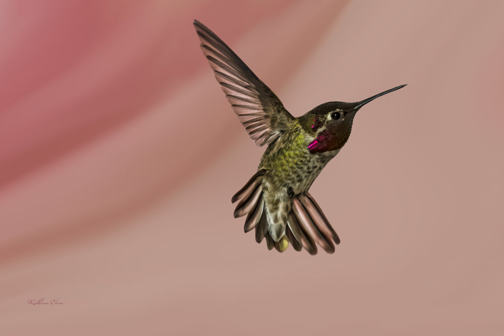 Photograph of a hummingbird in mid-air against a pink background.