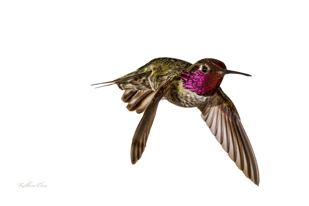 Photograph of a hummingbird in mid-air against a white background.