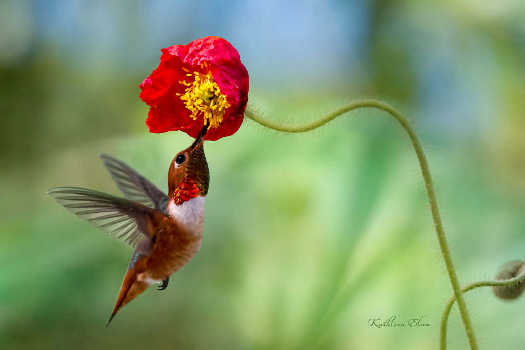 Photograph of a hummingbird visiting a California Poppy.