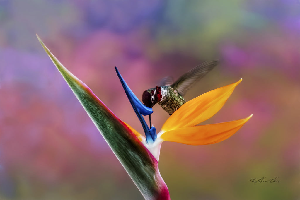 Photograph of a hummingbird visiting a Bird of Paradise flower.