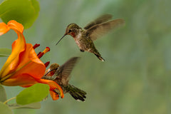 Photograph  of three hummingbirds visiting a day lily.
