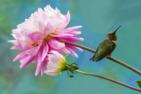 Photograph of a hummingbird perched on a large pink Aster.