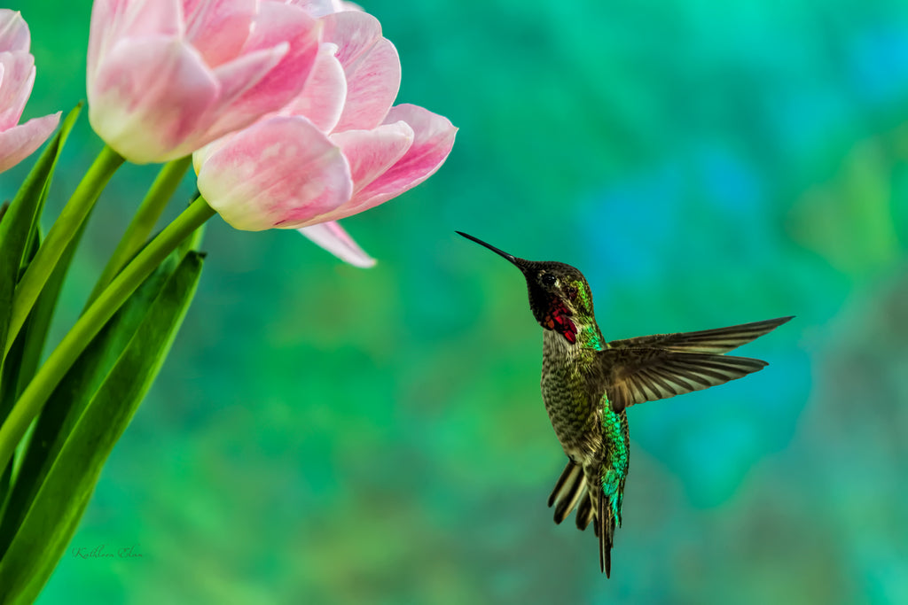 Photograph of a hummingbird and a pink tulip.