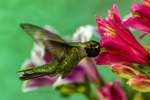Photograph of a hummingbird and a princess lily.