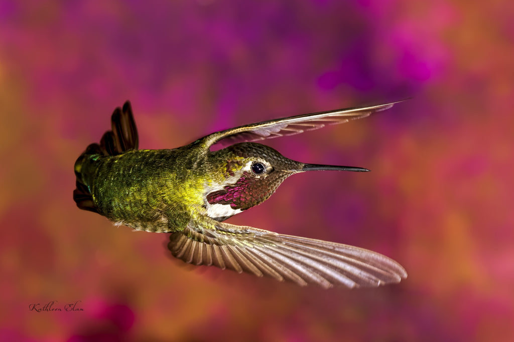 Picture of a hummingbird in mid-air in a very dramatic pose.