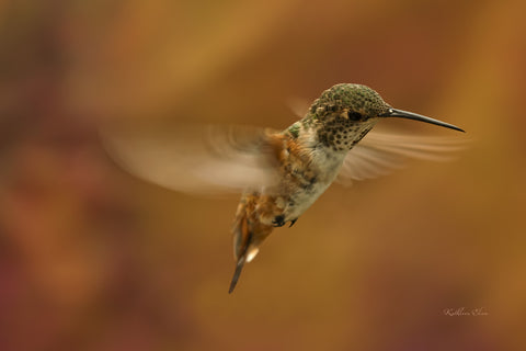 Photograph of a hummingbird with wings blurring around him in mid-air.