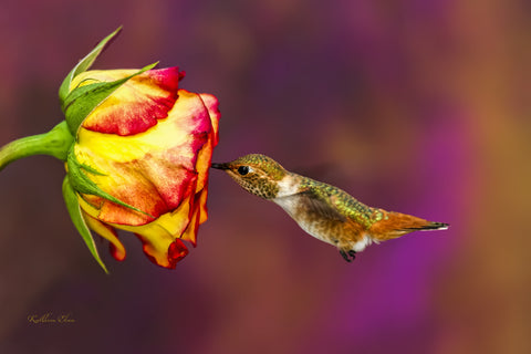 Photograph of a hummingbird visiting a rose.