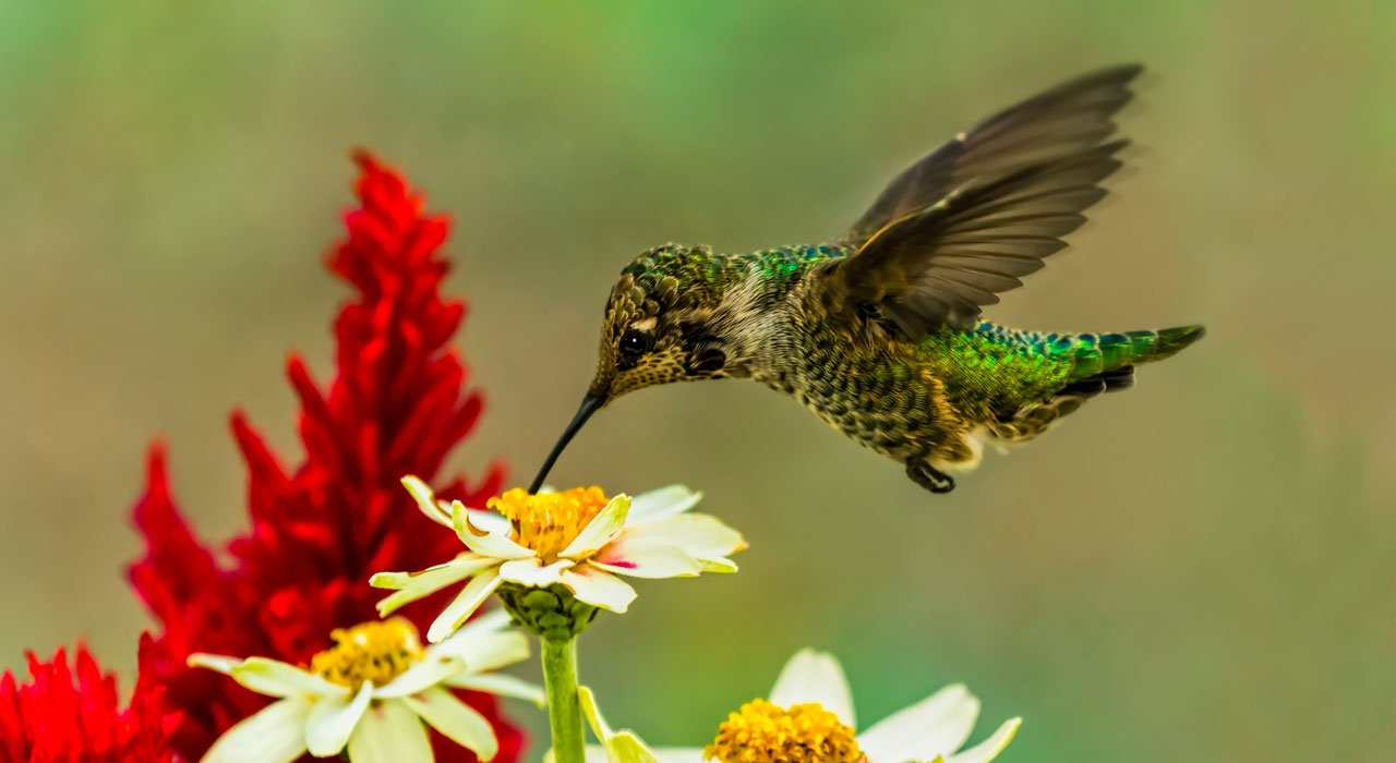 Picture of hummingbird and daisies and red flowers.