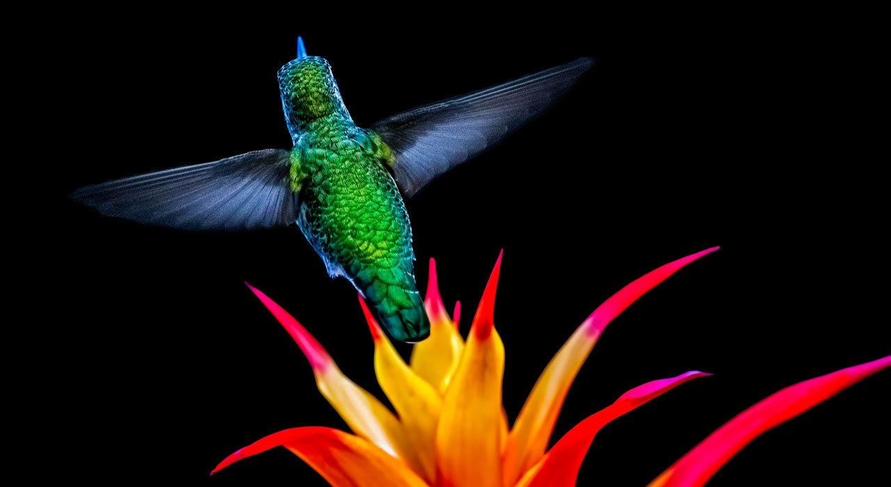 Picture of hummingbird and bromeliad against a black background.