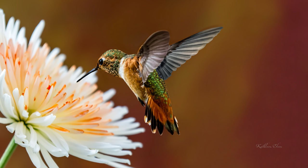 Picture of hummingbird and aster flower.