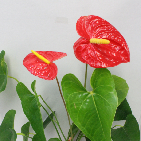 Anthurium Potted Plant - Broadfield Flowers Florist Lincoln, Christchurch