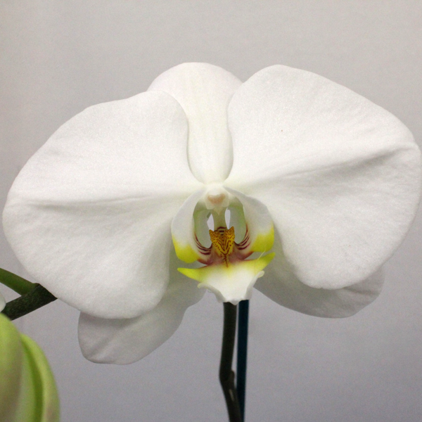 Phalaenopsis Orchid Plant - Broadfield Flowers Florist Lincoln, Christchurch