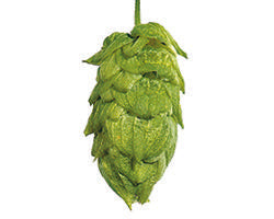 Nugget US Hops