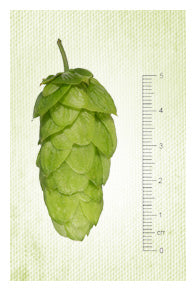 Southern Cross NZ Hops