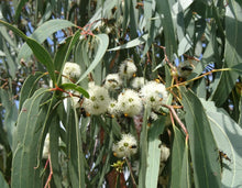 Red Stringy Bark (Eucalyptus Macrorhynhca) Flowers