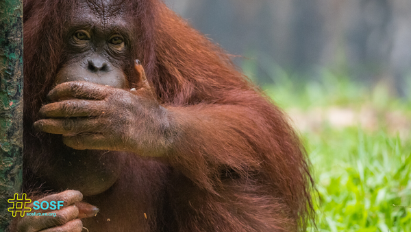 How does palm oil destroy forests and orangutans