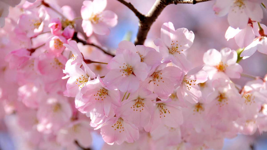 cherry blossoms edible flowers asia