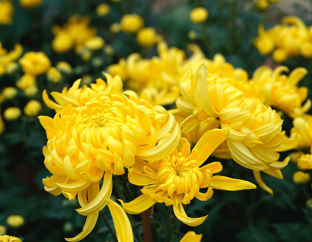 The Qi chrysanthemum