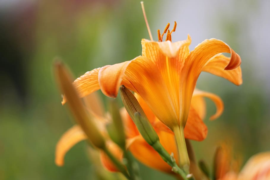 daylily asia edible flowers