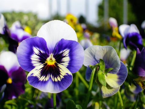 Pansy in a field of pansies