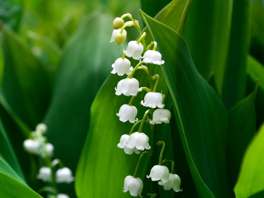 Lily of the Valley Flowers