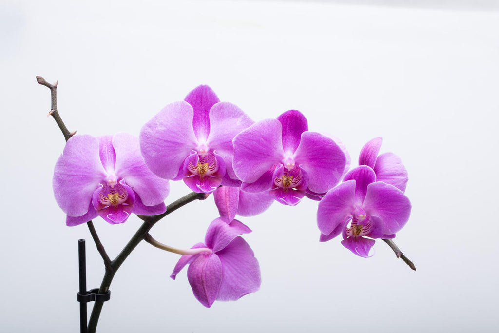 orchids edible flowers asia
