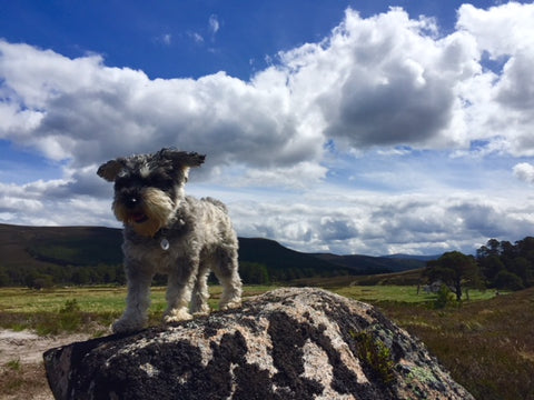 Mylo - The Wee Hemp Dog | The Wee Hemp Company CBD Oil Shop | Wee Hemp CBD Oil Shop | Scotland's multi award winning CBD company | CBD Oil Shop | Cannabidiol drops | Aberdeen & Aberdeenshire | CBD Oil, CBD Balm, CBD Vapes E-liquid, CBd Cream, CBD Full Spectrum CBD Oil, Broad Spectrum CBD Oil, 3rd party lab tested CBD Oil | Wee Hemp - Calum & Rebecca Napier - FSB (Federation of small businesses) Micro Business of the Year, Scottish Enterprise Spirit of Enterprise Award winners | Canna'B Gin & Canna'B Rum - CBD Infused Spirits, CBD infused alcohol, Scottish Gin Awards Finalist - The UK's 1st CBD infused alcohol spirits | Scotland's most trusted CBD company